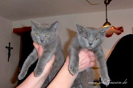 Chartreux-Kater Percival und Quilian