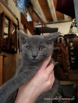 Chartreux-Kater Percival