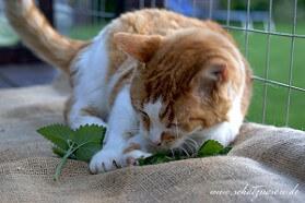 Kater spielt mit frischer Katzenminze